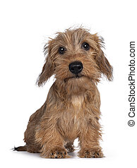Adorable Wirehair Kanninchen Dachshund pup, sitting facing camera. Looking straight at lens with dark shiny eyes. Isolated on white background.