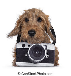 Adorable Wirehair Kanninchen Dachshund pup, wearing toy photo camera around neck. Looking straight at camera with dark shiny eyes. Isolated on white background.