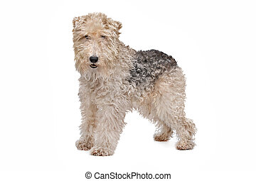 Wire fox terrier in front of a white background