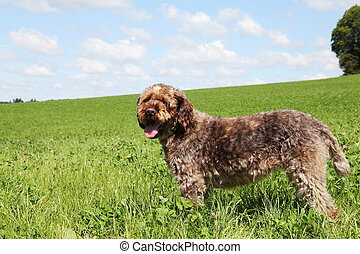 Wirehaired Pointing Griffon Dog - A Korthals Griffon or Wire...