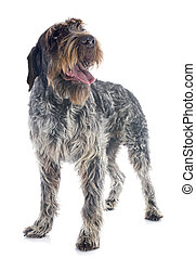 Wirehaired Pointing Griffon in front of white background