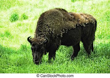 wisent, (bison, bonasus)