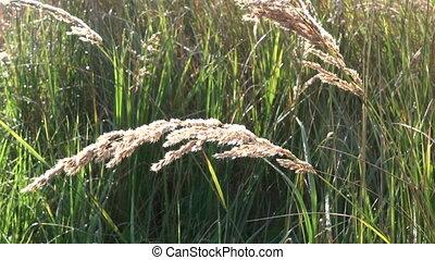 Wisp grass waving in the wind