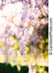 Wisteria branch with lilac flowers close-up on a blurred background.