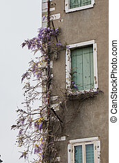 wisteria climbing on the old house