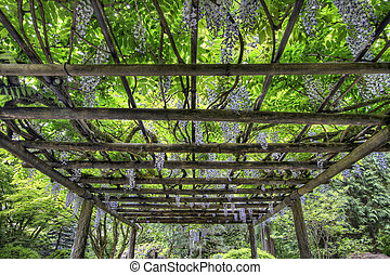 wisteria, flor, em, portland, jardim japonês