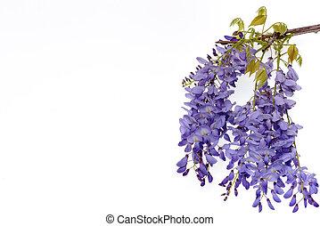 Wisteria flowers floral design element. - Wisteria flowers,...