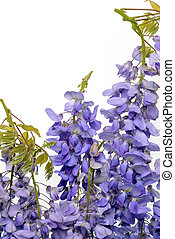 Wisteria flowers floral design element.