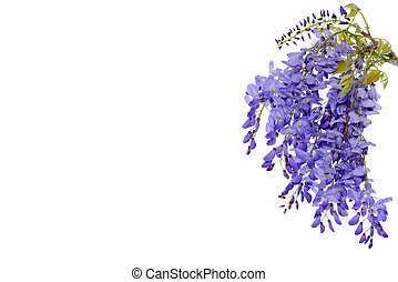 Wisteria flowers floral design element. - Wisteria flowers, ...