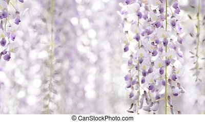 Wisteria flowers in right side - Full blooming purple...