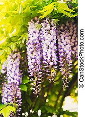 wisteria, giorno pieno sole