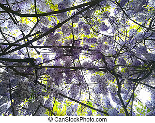 Wisteria in bloom background