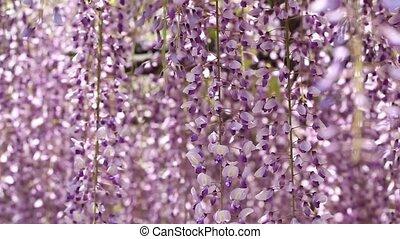 Wisteria in the Japanese Garden - purple wisteria trellis in...