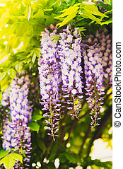 Wisteria on a sunny day