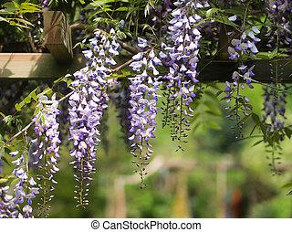Wisteria on an arbour in a sunny garden