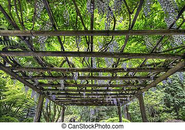 wisteria, rozkwiecony, na, portland, japoński ogród