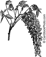Wisteria sinensis or Chinese Wisteria vintage engraving - ...