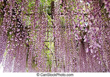 wisteria trellis in the Japanese Garden