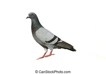 wit dove, rots