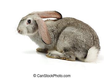 wit konijn, grijze , achtergrond