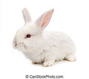 wit konijn, vrijstaand, op wit, achtergrond