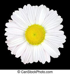 wit madeliefje, bloem, vrijstaand, op, zwarte achtergrond