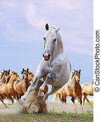wit paard, en, kudde