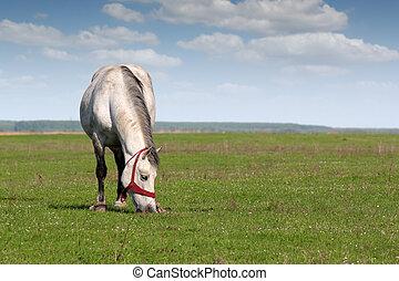 wit paard, in, wei