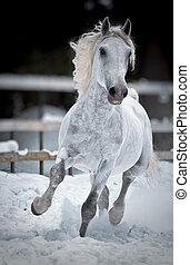 wit paard, looppas, galop, in, winter