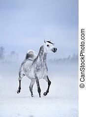 wit paard, looppas, op, winderig, winter