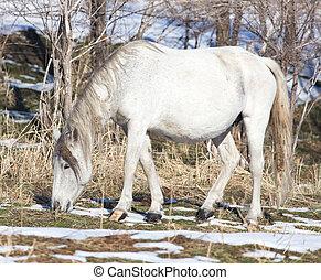 wit paard, op, natuur, in, winter