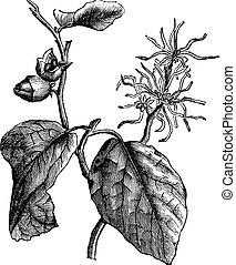 Witch hazel (Hamamelis virginiana) or winterbloom vintage engraving