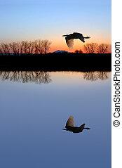 wite egret, op, baby blauw