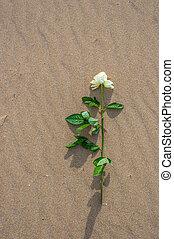 withe, rosa, solo, spiaggia
