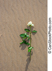 Withe rose alone on the beach