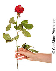 Witherbarks red rose in female hand isolated on white background.