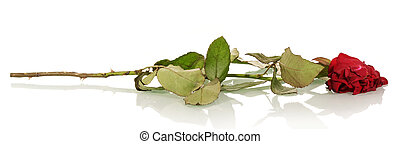 Witherbarks red rose isolated on white.