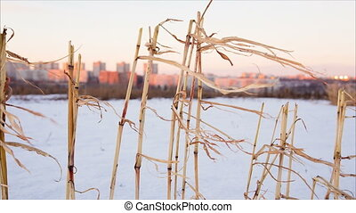 Withered corn stems in snow with far city background