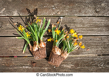 Withered daffodils on wooden background