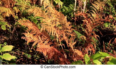 Withered ferns surrounded by green and healthy leaves