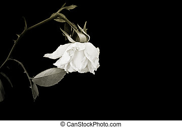 Closeup of withered rose. Isolated on black background