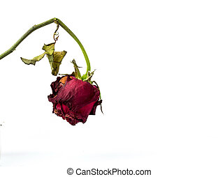 withering red roses isolated on white background