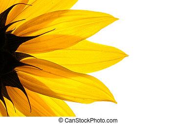 witte achtergrond, detail, zonnebloem, vrijstaand