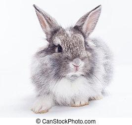 witte achtergrond, vrijstaand, konijn