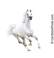 witte , arabisch paard, vrijstaand