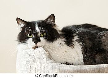 witte , black , bed., het liggen, kat