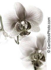 witte , black , orchidee