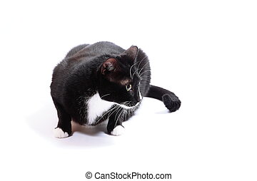 witte , black , vrijstaand, kat