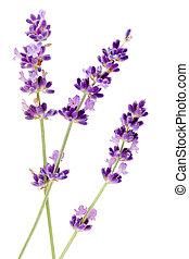 witte bloem, lavendel, achtergrond
