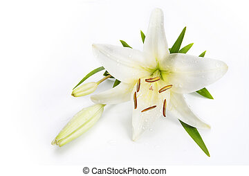 witte bloem, lelie, vrijstaand, achtergrond